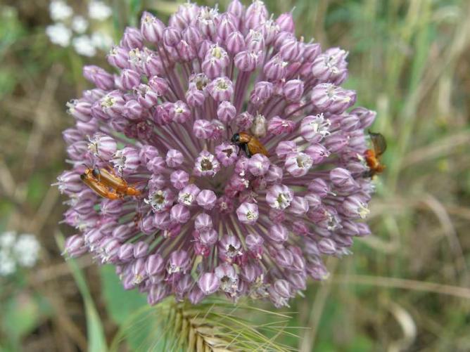 Ail à tête ronde et insectes