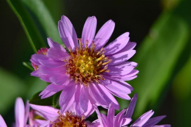 Aster - Vendengeuse