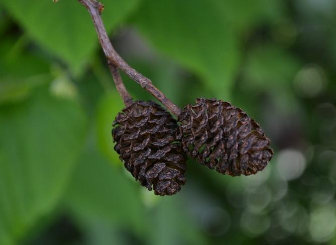 Aulne glutineux - fruit