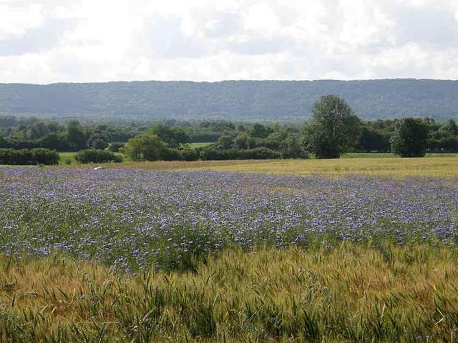 Bleuet dans les blés