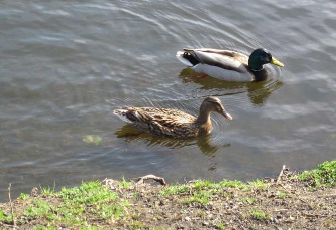 Canards colvert - Couple