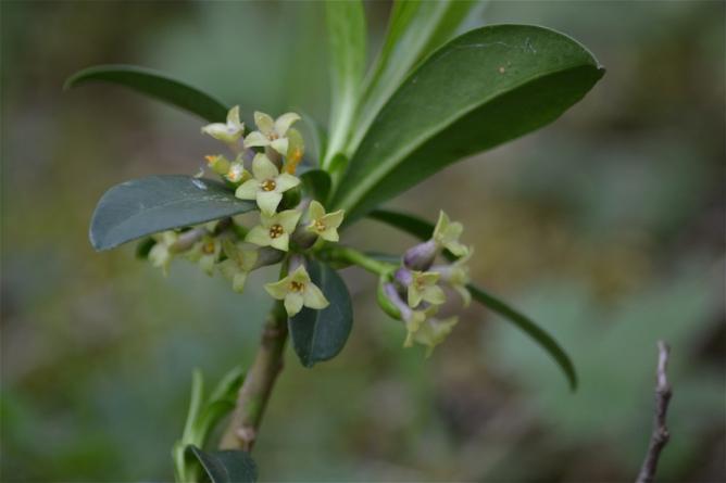 Daphné lauréole 2- Daphne laureola