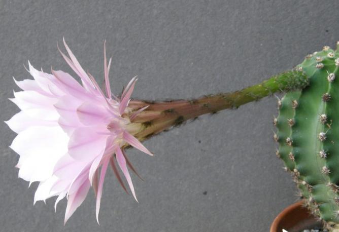 Echynopsis 1