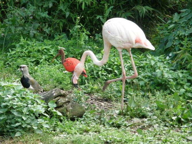 Flamant rose et Ibis rouge
