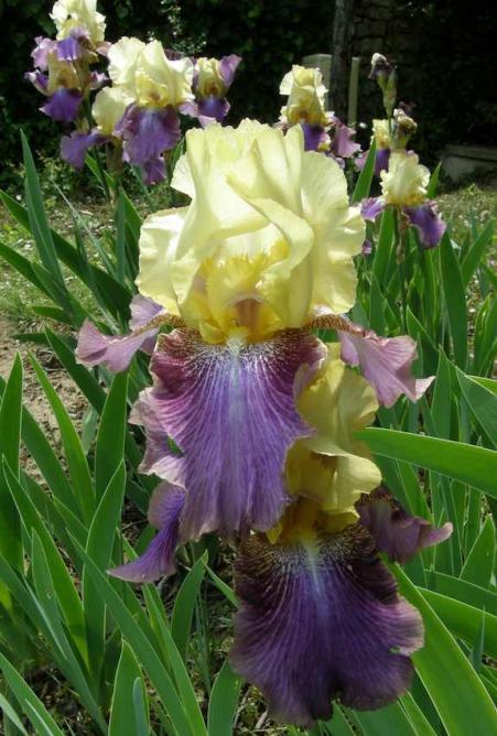 Iris double