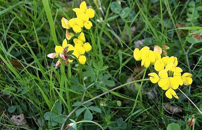 Lotier corniculé - Lotus corniculatus