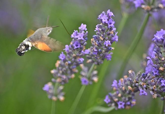 Papillon Moro-sphynx