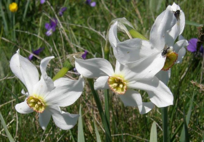 Narcisse et mouches