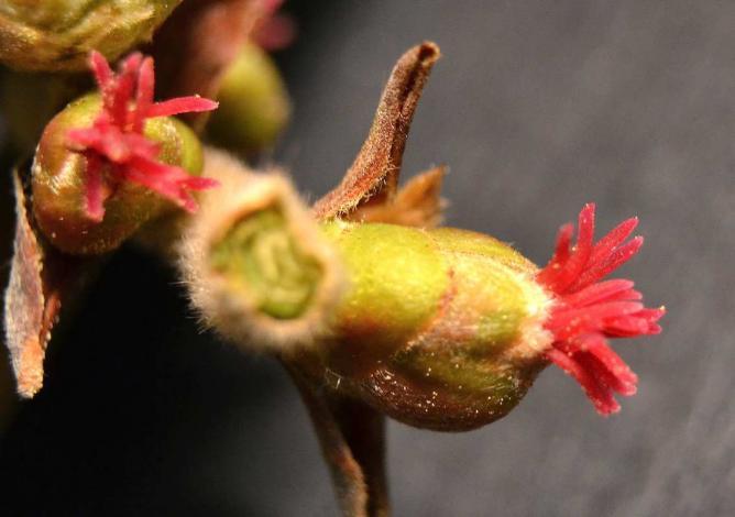Noisetier - fleurs femelles