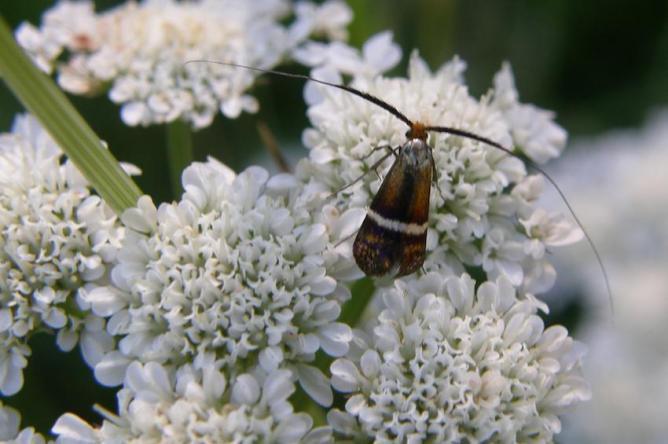 Papillon Adèle