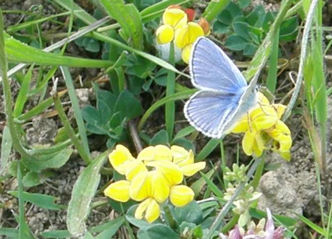 Papillon Argus bleu sur Lotier