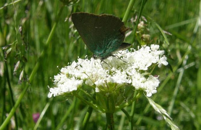 Papillon Argus vert sur Ombélifère