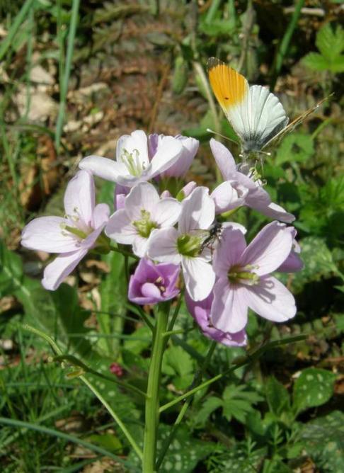Papillon Aurore mâle (Anthocharis) sur Cardamine