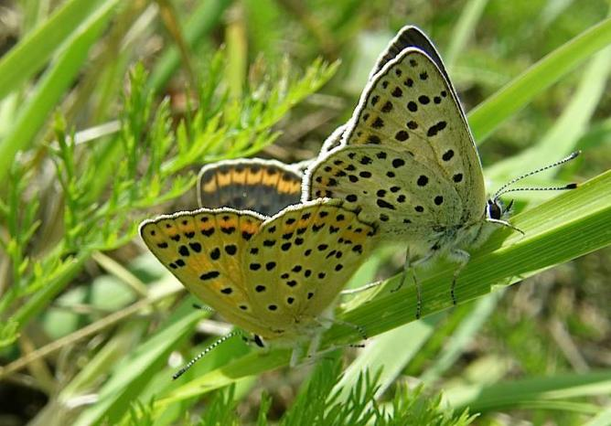 Papillon Cuivré fuligineux -Accouplement