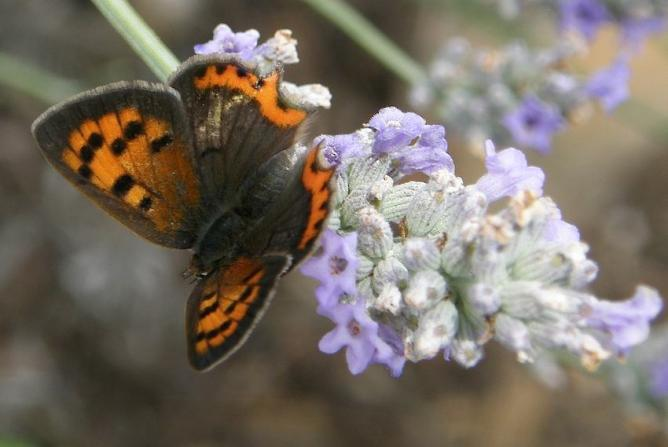 Papillon Cuivré sur Lavande