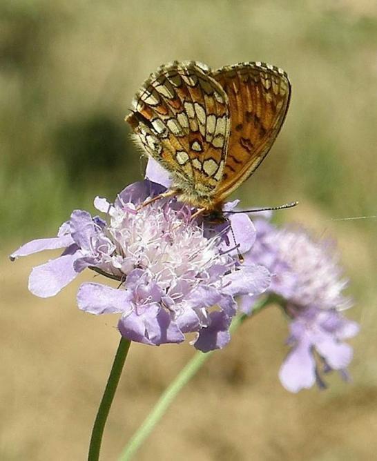 Papillon Damier des prés sur Scabieuse