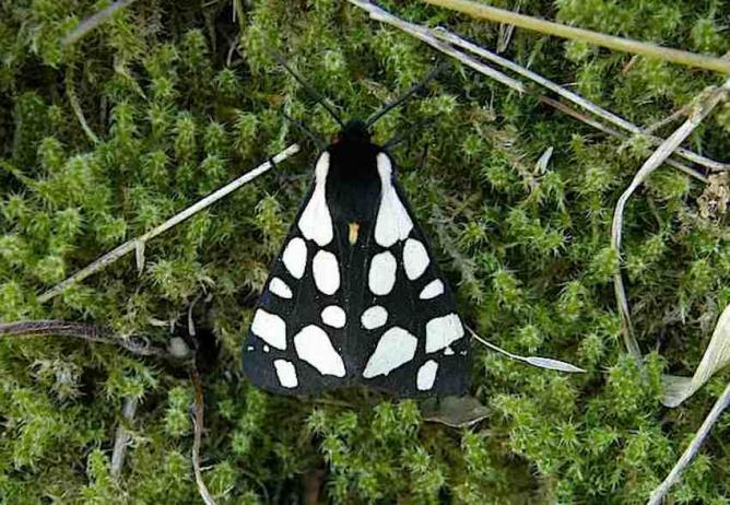 Papillon Ecaille chinée