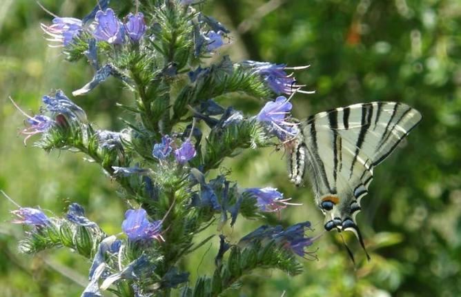 Papillon Flambé sur Viperine