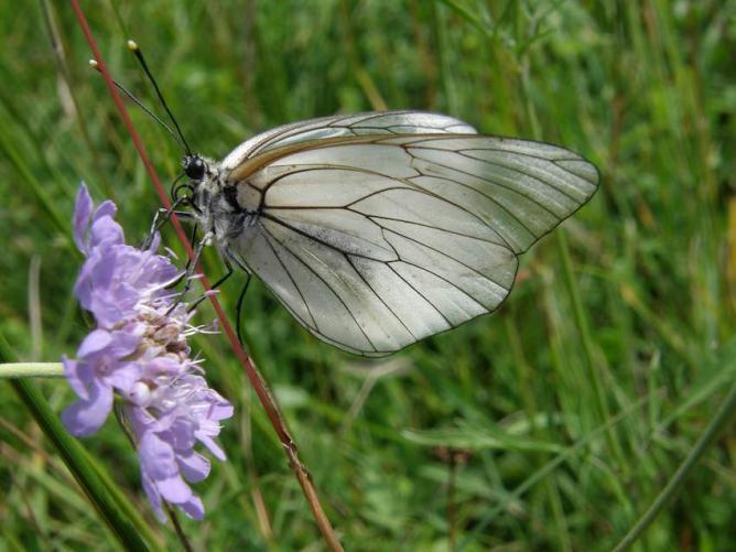 Papillon Gazé sur Scabieuse