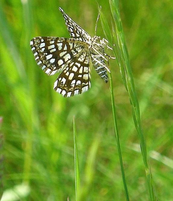 Papillon Géomètrte à barreaux