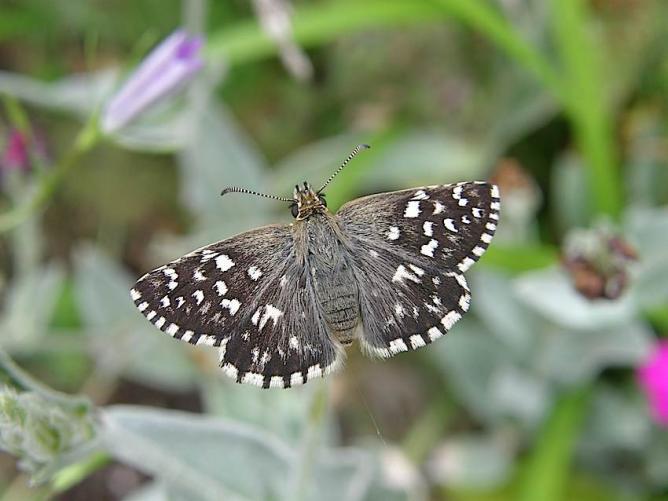 Papillon Hespéride de la mauve