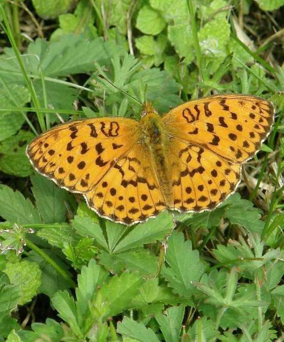 Papillon la Petite Violette