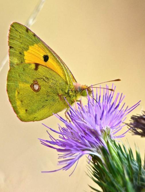 Papillon le Souffré - Colias hiale