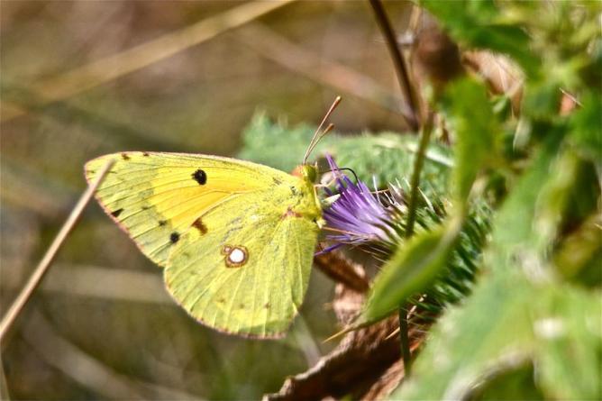 Papillon le Soufré 1