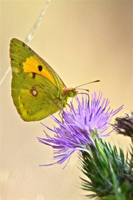 Papillon le soufré 2