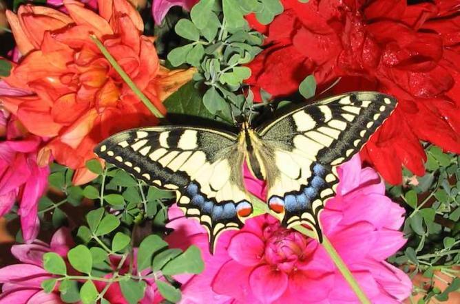 Papillon Machaon 2