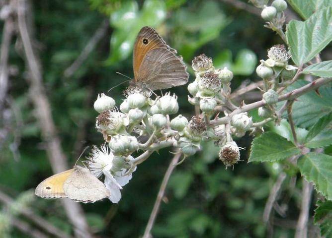 Papillon Myrtil
