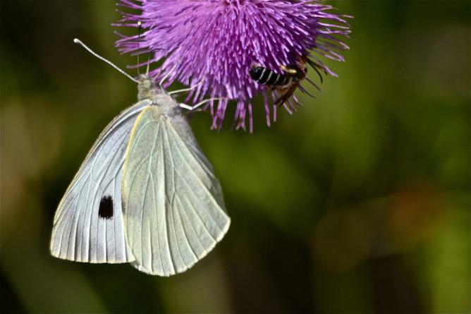 Papillon Piéride