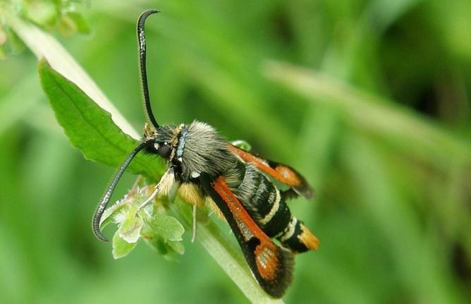 Papillon s sie de l 39 oseille - Planter de l oseille ...