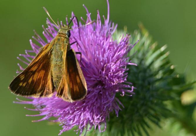 Papillon Sylvaine sur chardon
