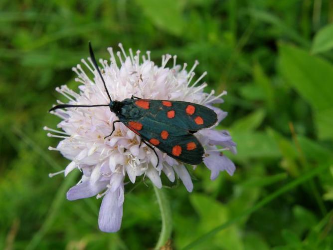Papillon Zigaene sur Scabieuse
