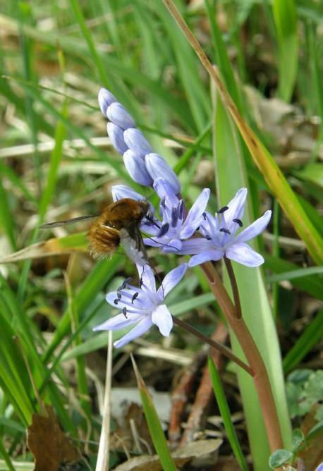Scille à 2 feuilles et abeille