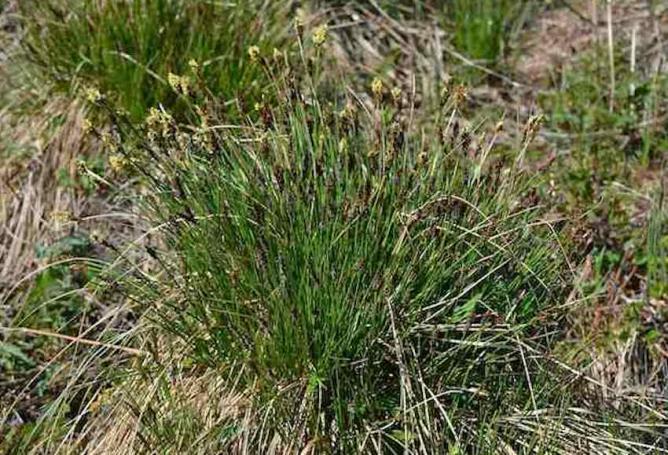 Seslérie bleuâtre - Sesleria caerulea 1