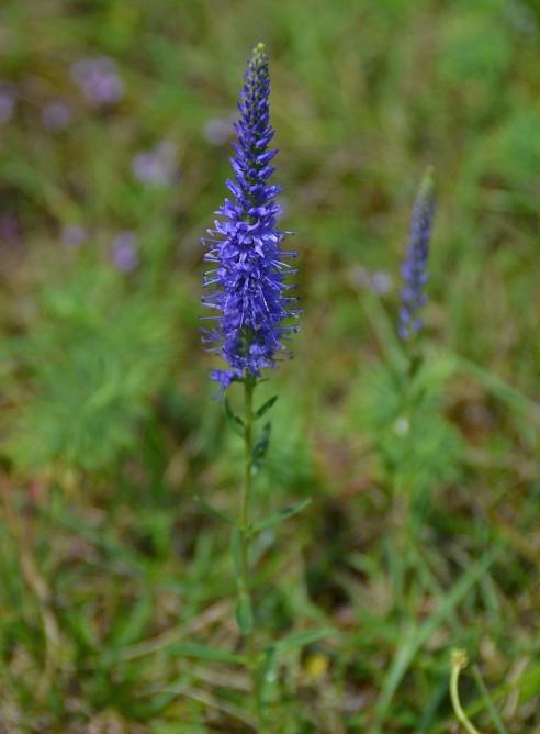 Véronique en épi - veronica spicata - copie