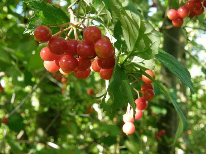 Viorne obier - Fruits