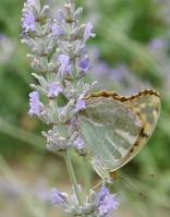 papillon-grand-nacre.jpg